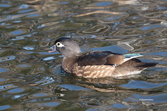 Female wood duck - Explore photo by jlcummins - Washington State