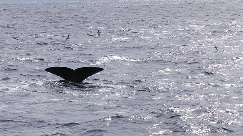 2013-0721 812 Andenes tweede duik walvis 37