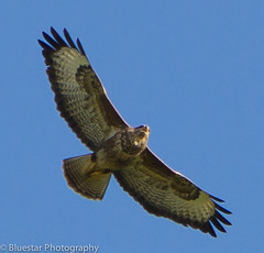 Buzzard photo by Michael-Norton