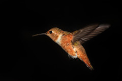 Immature Male Rufous Hummingbird in flight photo by champbass2