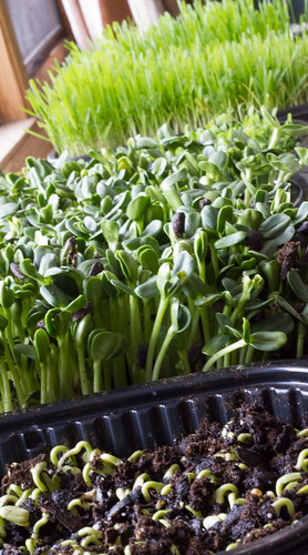 Sunflower Microgreens