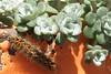 chenille de l'Ecaille chinée ou Euplagia quadripunctaria