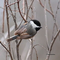 Black-capped chickadee, Poecile atricapillus, Yakima Area Arboretum - Explore Feb. 26 photo by jlcummins - Washington State