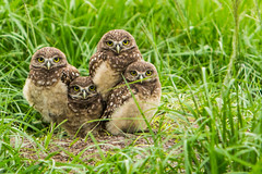 Owl Nesting Season2 photo by photocat001