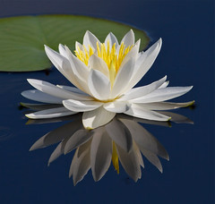 Fragrant Water Lilly photo by Birdwatcher 1406(Bill Eaton)