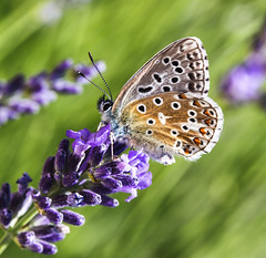 Butterfly on Lavender - Glandon Blue - #Explored photo by asheers