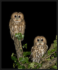 _Tawny Owl pair   (WILD BIRDS) photo by phil winter