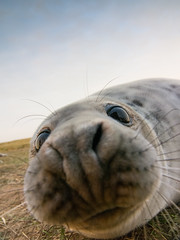 Grey Seal Pup (ultra wide-angle) photo by elliot.hook