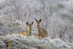 Roe Deer in Winter Landscape photo by VenaCos