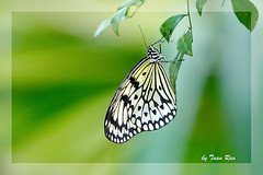 IMG_7253_butterfly photo by Tuan Râu