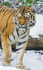 Coto walking in the snow photo by Tambako the Jaguar