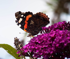 red admiral [explored] photo by carol_malky