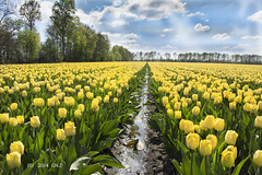 Yellow field of tulips in Drenthe photo by Greet N.