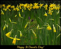 Daffodils and Crocuses - Happy St David's Day! photo by Dave Roberts3