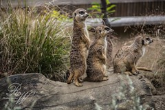 meercat photo by rachaelwatsonphotography
