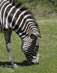 Zebra photo by nstatson