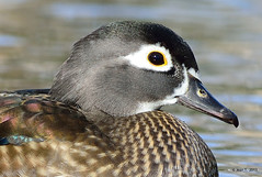 Canard branchu ♀ /  Wood Duck photo by anjoudiscus