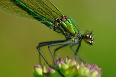 Calopteryx female smale photo by jd.echenard