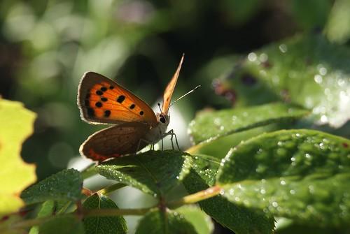 papillon Le Cuivré