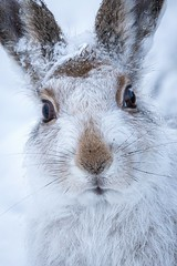 Mountain hare photo by Susanna Chan