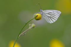Pieris napi (klein geaderd witje, Green-veined White)