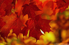 Canadian red maple leafs / Feuilles d'érable rouges canadiennes photo by PULLKATT, SEE MY NEW BLUE EXPO