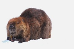 Beaver photo by Peaceful Nature