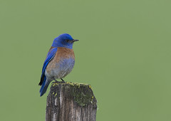 "Western Bluebird (Sialia mexicana) photo by Gregory ""Slobirdr"" Smith"