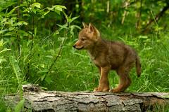 Coyote puppy photo by debbie_dicarlo