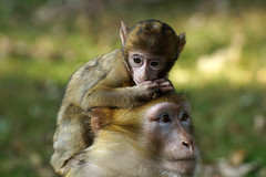 1+1 Monkeys, Barbary Macaque, Berberaffen photo by okrakaro
