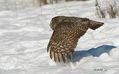 GREAT GRAY OWL 1 photo by AIR BUS
