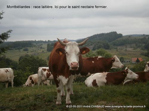Montbéliardes-Cantal-1