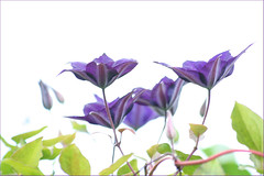 Clematis photo by haberlea