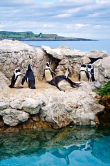 Penguins [EXPLORED] photo by inFocusDCPhoto – Young Spanish photographer