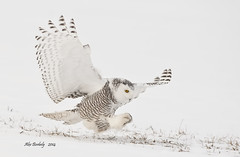 SNOWY OWL - 02a photo by AIR BUS