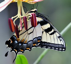 Tiger swallowtail on Turks cap lily photo by holdit.