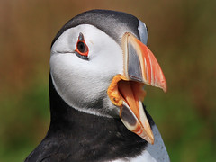 Puffin - Fratercula arctica photo by normanwest4tography