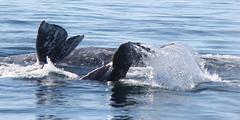 Gray Whales photo by EchoBeluga