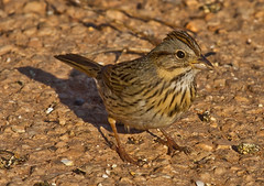 Lincoln's Sparrow photo by Lindell Dillon