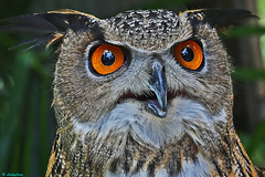 EURASIAN EAGLE OWL - PORTRAIT photo by ginger146