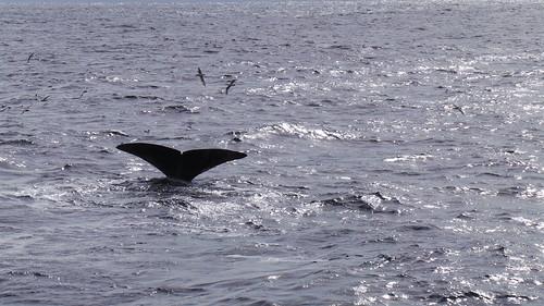 2013-0721 811 Andenes tweede duik walvis 37