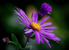 Triple violet photo by Good Nature One