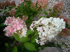 H. paniculata 'Vanille Fraise'