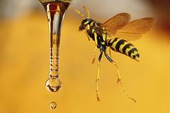GUÊPE SURPRISE ! wasp in weightless flight photo by aziouezmazouz