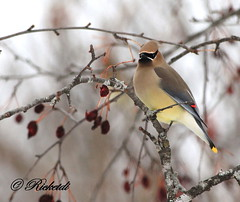 Jaseur d amérique - cedar waxwing photo by ricketdi