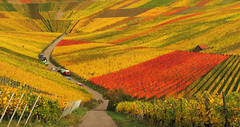Vintage in the autumn Vineyard photo by Habub3