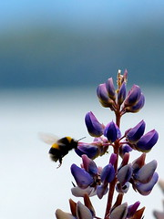 Abejorro entre lupinos (bumblebee at lupines) photo by Marcelo Madroñal