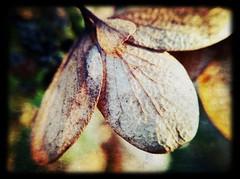 October Hydrangea-textured-Tawny photo by Firery Broome