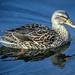 Ibiza - Pato - Duck
