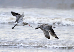 Bar Tailed Godwit heading East for the Mersey: North Wirral Coast. photo by Peter J. Ham
